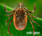 western blacklegged deer tick